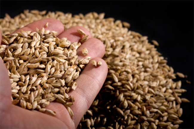 Barley brew for optic neuritis