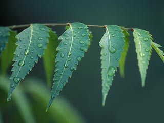 Use neem leaves for natural treatment of chickenpox