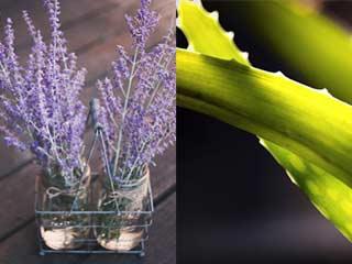 Homemade aloe vera and lavender oil night cream for acne