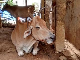 दूध देना बंद कर चुकी गायें से भी होते हैं कई स्वास्थ्य लाभ