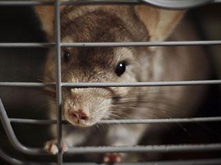 हमेशा के लिए चाहते हैं चूहों से छुटकारा? तो अपनाएं ये उपाय