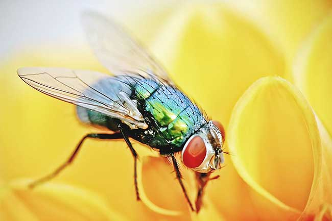 मक्खी दूर भगाए
