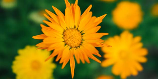 Amazing health and beauty benefits of calendula in Telugu