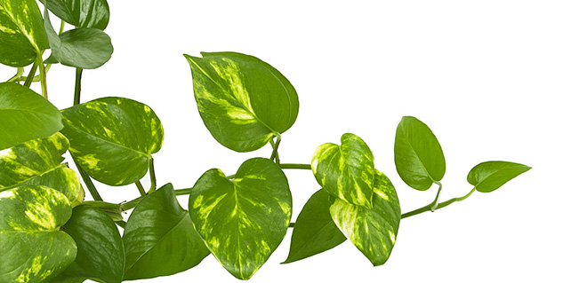 money plant in hindi