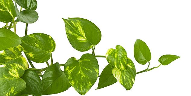 money plant in hindi