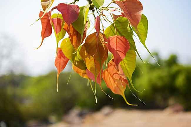 पीपल की पत्तियां