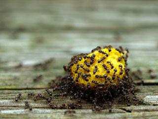 चीटियां को घर से कोसों दूर भगाते हैं ये घरेलू उपाय
