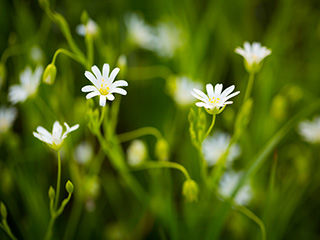 Try chickweed for quick weight loss