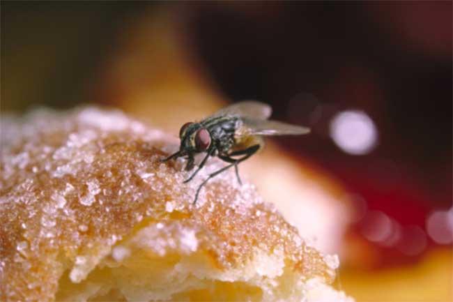 मक्खियों से मुक्ति