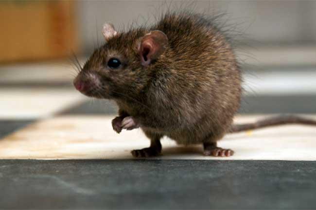 चूहों से मुक्ति