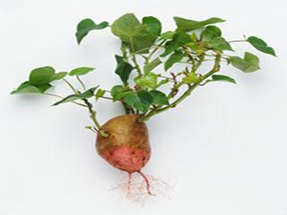 Top 5 benefits of sweet potato leaves