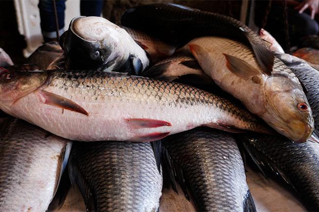 रोहू मछली के फायदे