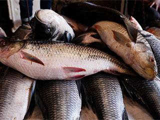 रोहू मछली के सेहत से भरपूर लाभ