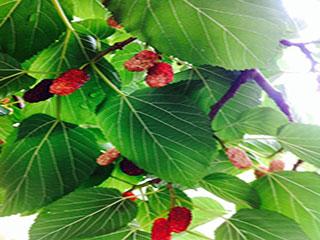 शहतूत की पत्तियां भी करती हैं मधुमेह को कंट्रोल, ऐसे करें इस्तेमाल