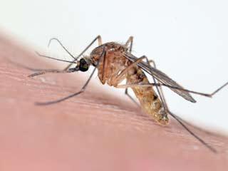 पपीते के पत्ते से करें डेंगू का इलाज, जानें कैसे