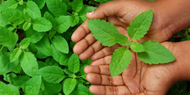 Chew on tulsi leaves to cure ulcers | Home Remedies