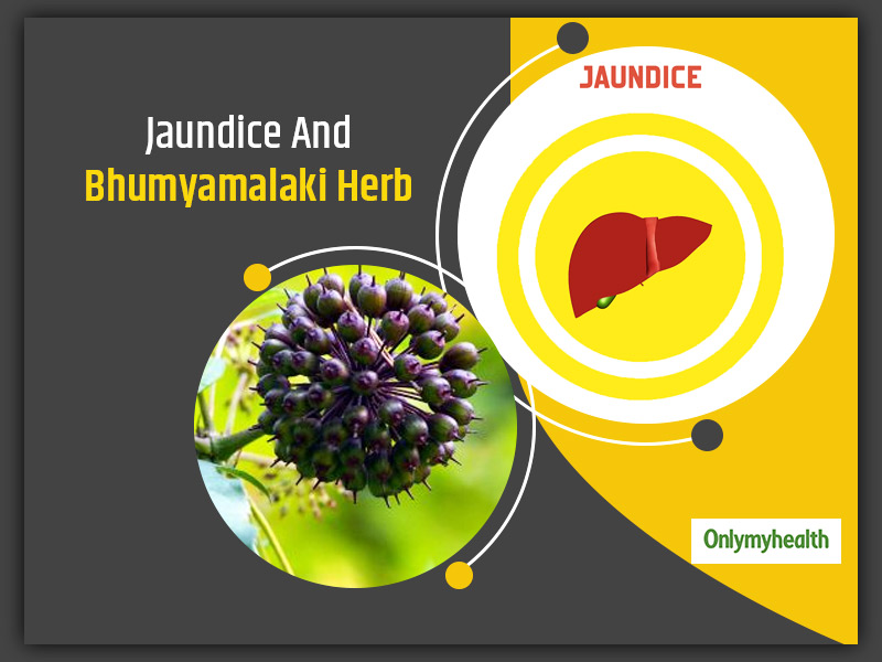 Jaundice Home Remedy: Protect Your Liver With Bhumyamalaki Herb. Here's How You Can Use This