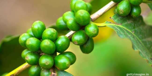 Green Coffee Bean Extract could be the Cure of Obesity