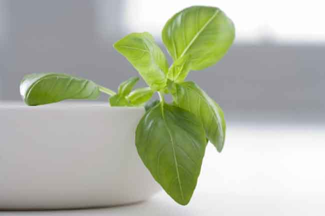 Tulsi or Holy Basil