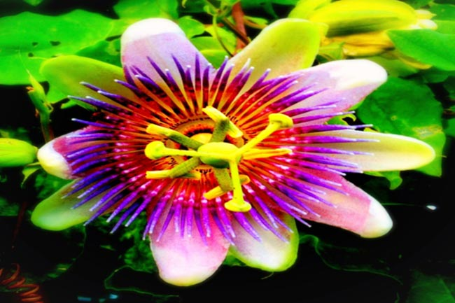 पैशनफ्लॉवर (Passionflower)