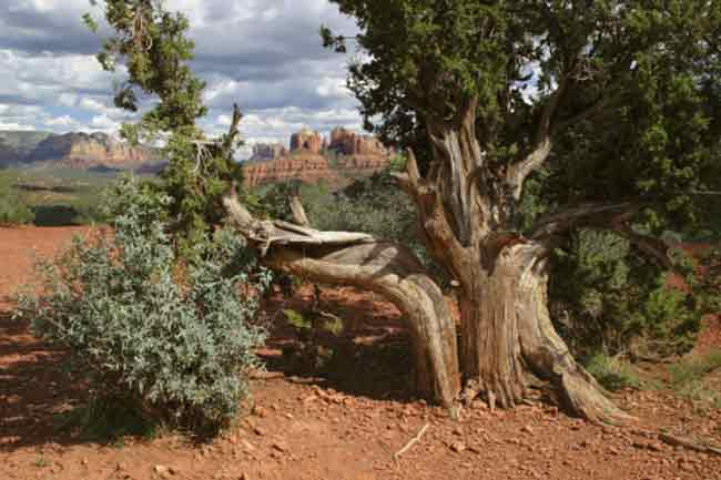 एरीजोना सरू (Arizona cypress)