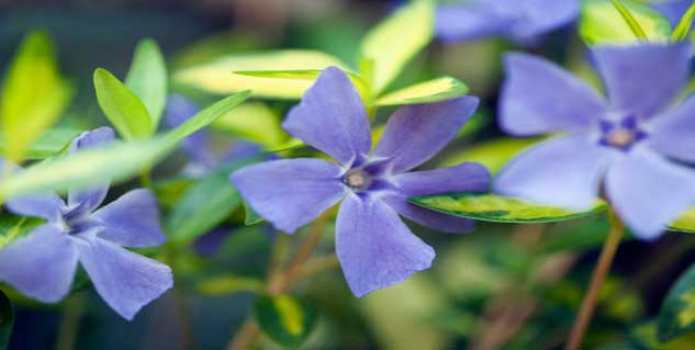 side effects of vinca