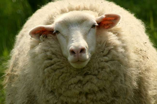 Your chewing gum has sheep secretion