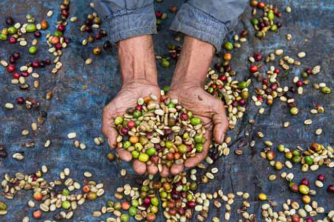 Brazil's coffee crop