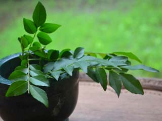 Get rid of hair problems with curry <strong>leaves</strong>