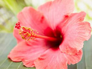 <strong>Benefits</strong> of hibiscus for hair and skin