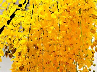 Beauty and Health Benefits of Amaltas (Cassia Fistula)