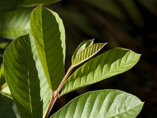 Health Benefits of Guava <strong>Leaves</strong>