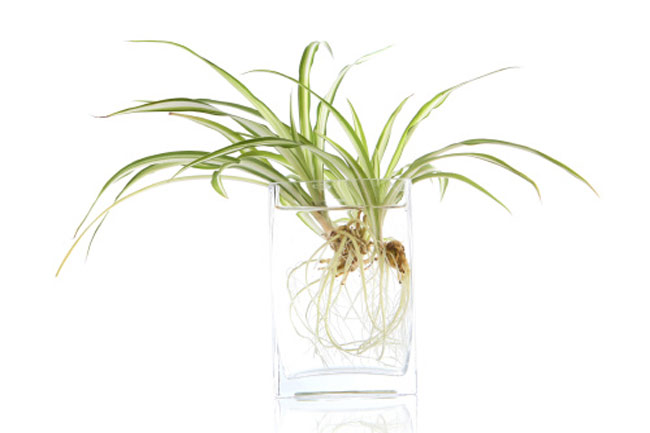 The Spider plant or Chlorophytum comosum