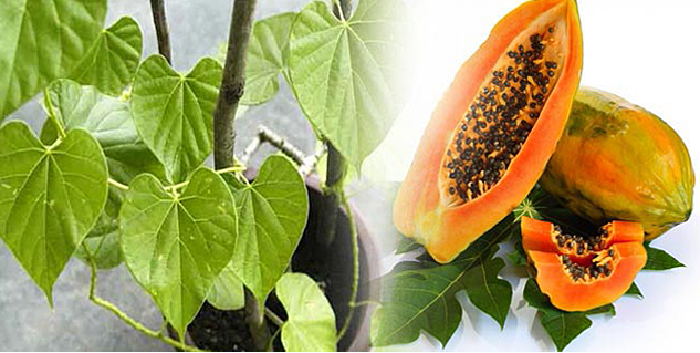 Giloy And Papaya Leaves For Dengue Treatment in Hindi