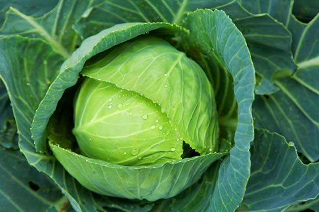 Cabbage is an excellent liver cleansing food