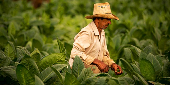 How tobacco farming contributes to world hunger