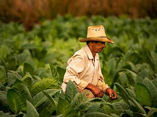 How tobacco farming contributes to <strong>world</strong> hunger