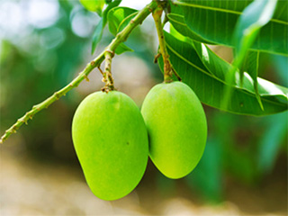 Amazing benefits of mango <strong>leaves</strong> you must know