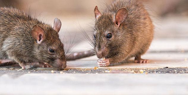 Image result for घर में चूहें