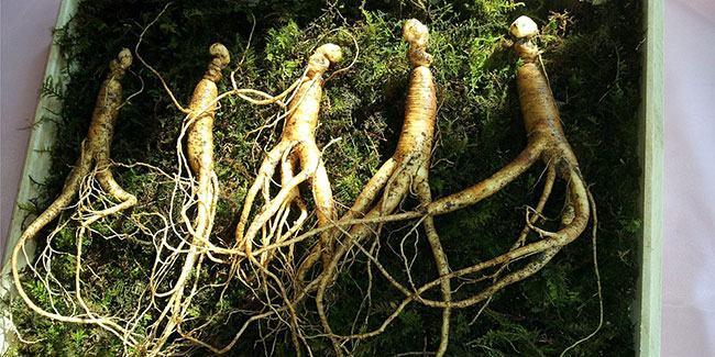 This is how you can use ginseng to lose weight fast