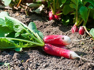 Miraculous health benefits of eating radish leaves