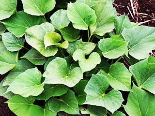 Sweet potato leaves: <strong>Rich</strong> source of essential vitamins