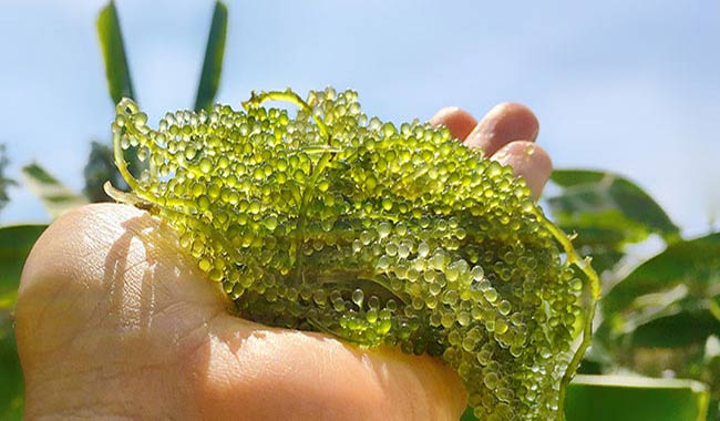 Surprising health benefits of algae