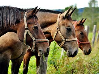 Glanders Outbreak in Horses Can Be Harmful to Humans Too