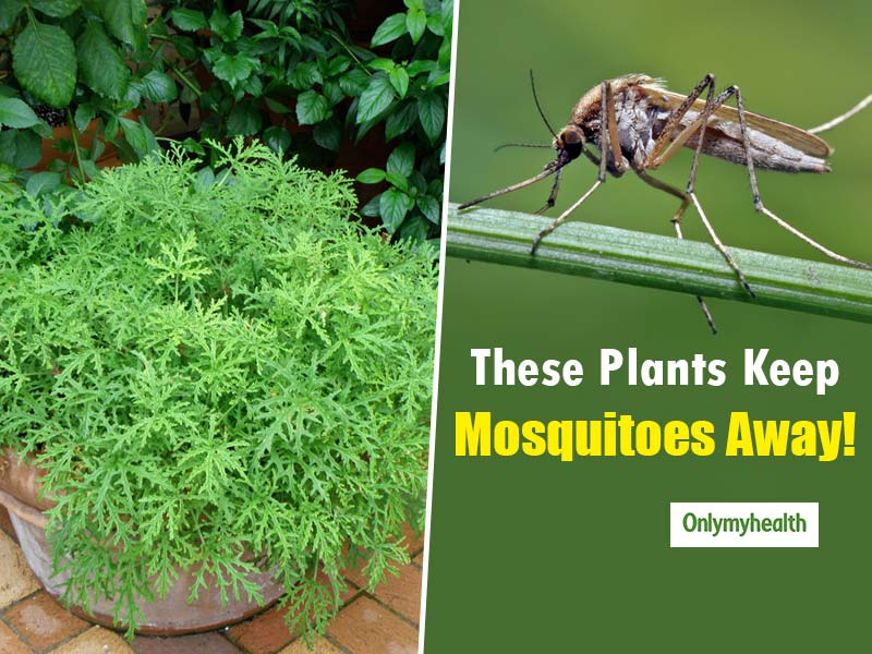 Mosquito Repelling Plants That You Can Keep In Your House
