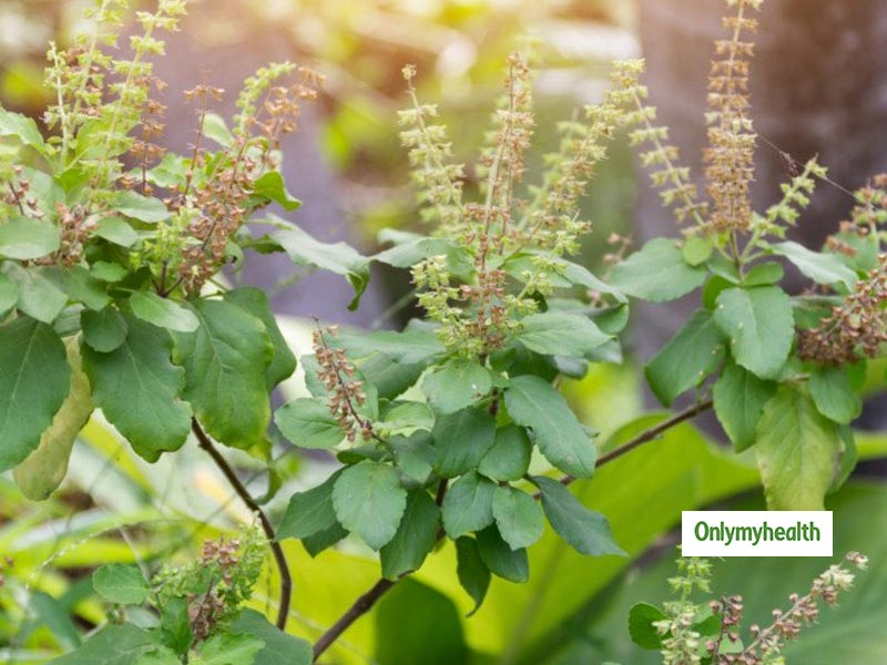 Tulsi Benefits: Apply These Easy Tricks For Smooth Hair