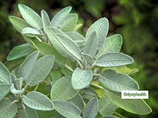 Common Sage Plant Benefits: Learn 5 Medicinal Uses Of This Ayurvedic Herb