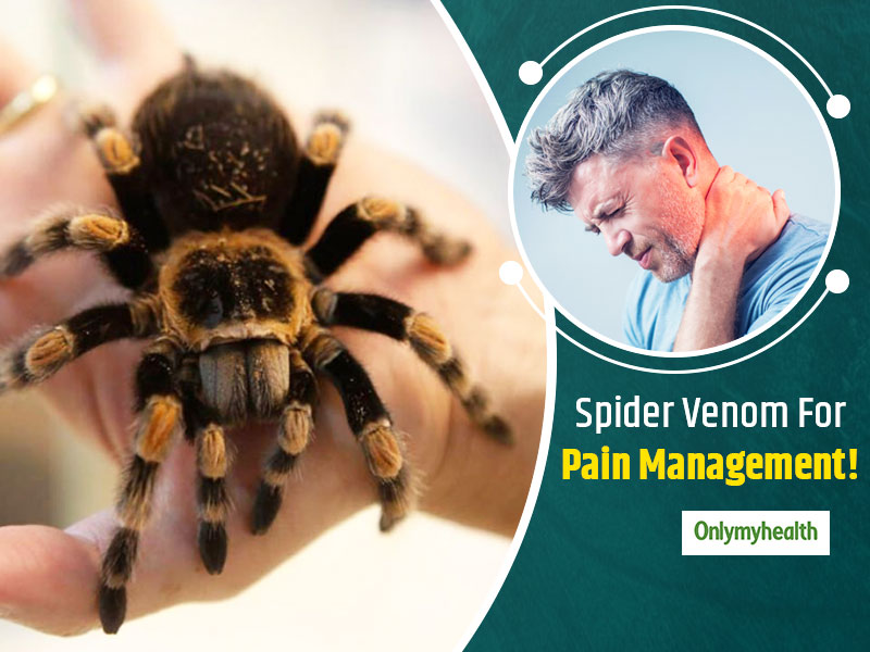 New Discovery! Spider Venom Can Aid Pain Relief With Zero Side-effects