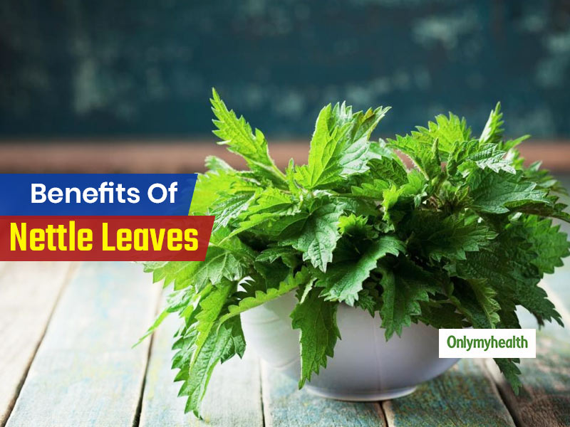 Nettle Leaf Benefits: This Ayurvedic Herb Offers A Multitude of Health Benefits